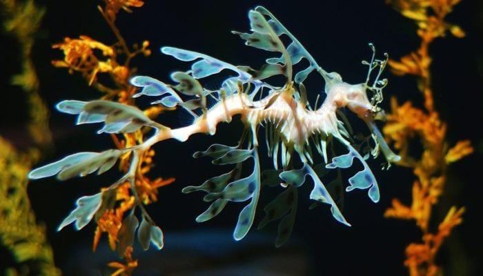 Dragón de mar: uno de los animales más raros del mundo