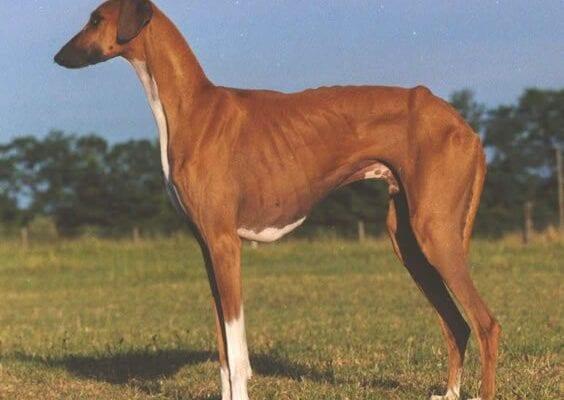 Azawakh - Una de las razas de perros más raras