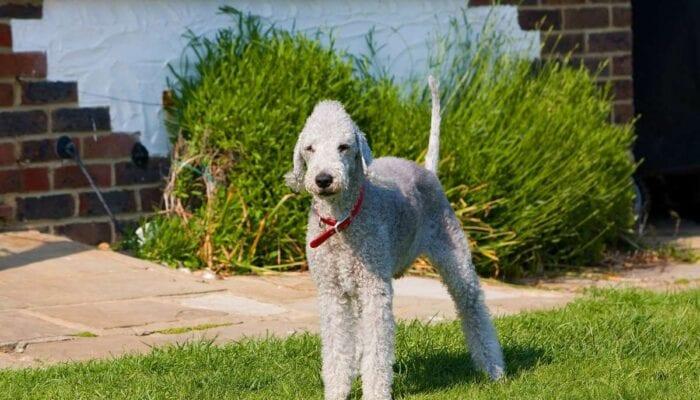 Razas de perros más raras