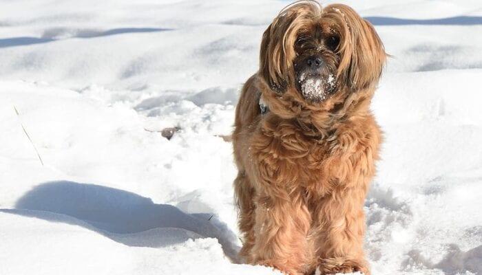 Raza de perro rara del Tibet